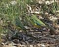 Neophema pulchella pair Capertee Valley.jpg