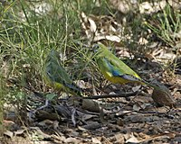 two parrots surrounded by grasses