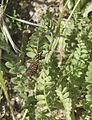 Nephrotoma-crocata-20130505.jpg