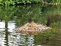 Nesting Fulica atra - Priory Gardens, Orpington.jpg