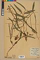 Neuchâtel Herbarium - Cephalanthera rubra - NEU000046817.jpg