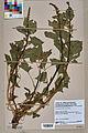 Neuchâtel Herbarium - Chenopodium bonus-henricus - NEU000004459.jpg