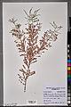 Neuchâtel Herbarium - Tamarix gallica - NEU000100950.jpg