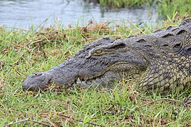 Nile crocodile in Chobe National Park 02.jpg