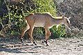 Nilgai in Keoladeo Ghana National Park.jpg