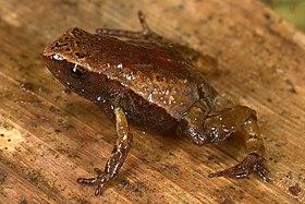 Noblella pygmaea08.jpg