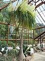 Nolina recurvata 'Bottle Palm' (Dracaenaceae) plant.JPG