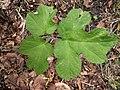 Noordwijk - Gewone berenklauw (Heracleum sphondylium) v2.jpg