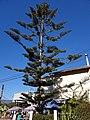 Norfolk Island 'pine' (48338574297).jpg