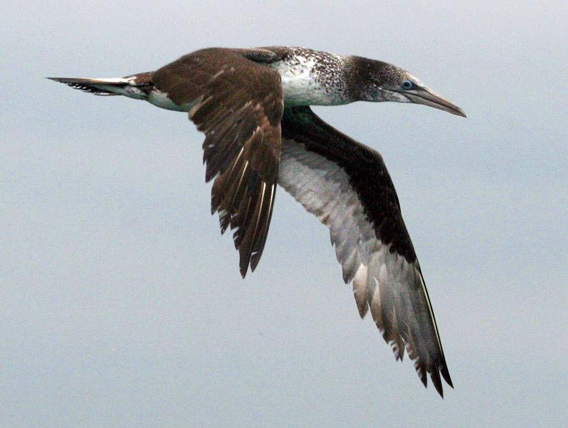 File:Northern Gannet juvenile RWD.jpg
