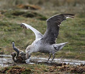 Northern Giant Petrel picking at a penguin carcass (5751643234).jpg