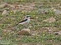 Northern Wheatear (Oenanthe oenanthe) (27493510554).jpg
