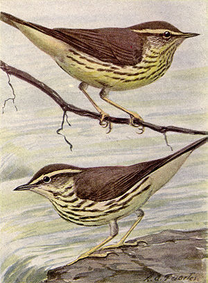 Northern and Louisiana Water-thrushes NGM-v31-p317-B.jpg