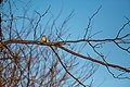Northern mockingbird (45783098334).jpg