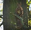 Nutty squirrel (50404136386).jpg