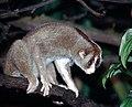Nycticebus coucang, the Sunda Slow Loris (11662803076).jpg