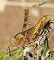 Nymph of Egyptian Locust. Anacridium aegyptium (32889852601).jpg