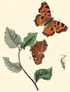 Nymphalis polychloros - Hubner.jpg