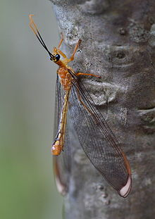 Nymphes myrmeleonides 4.jpg