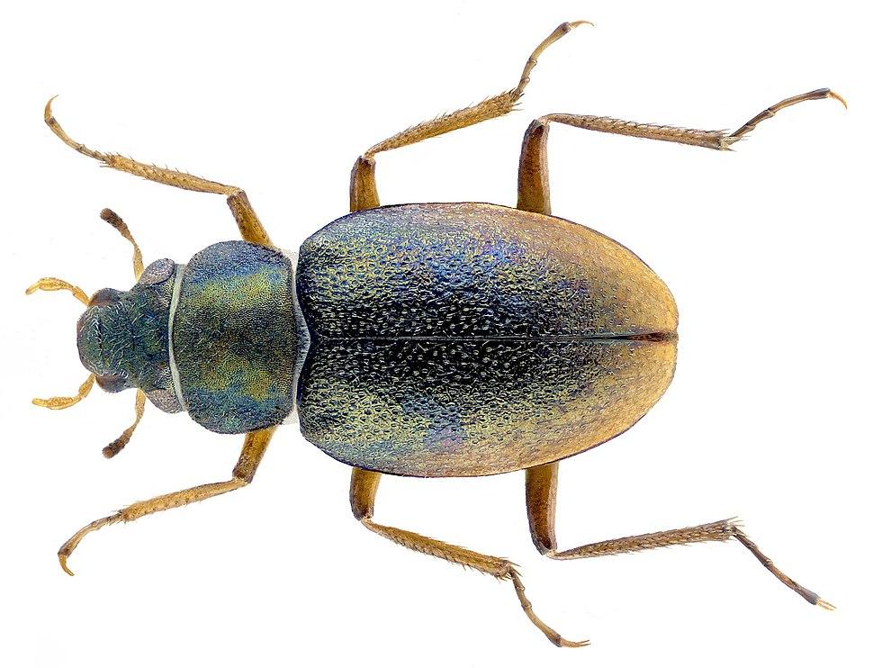 Ochthebius capicola (Péringuey, 1892) (3025083196) (2)