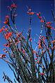 Ocotillo(Fouquieria splendens).jpg