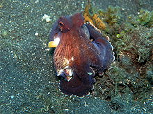 Octopus marginatus2.JPG