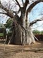 Old baobab.Malindi. Малинди, Кения - panoramio.jpg