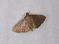 Omiodes sp. (40114949415).jpg