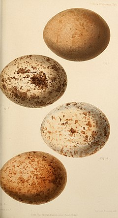 Ootheca wolleyana - an illustrated catalogue of the collection of birds' eggs formed by by the late John Wolley, Jun. (1864) (14563599920).jpg