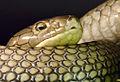 Ophiophagus hannah Genève 24102014 3.jpg