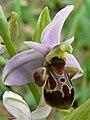 Ophrys vetula 003 - cropped.jpg