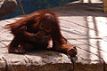 Orangutan babby eating nuts.jpg