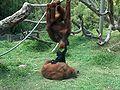 Orangutans-Siamang05.jpeg