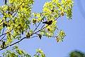 Orchard oriole (39718113120).jpg