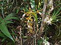 Orchid (Coelogyne radioferens) (8408990834).jpg