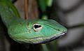 Oriental Vine Snake (Ahaetulla prasina) (8741874018).jpg