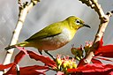 Oriental White-eye Windermere Ooty D72 5232