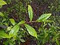 Orixa japonica 2017-05-07 9977.jpg