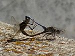 Orthetrum chrysostigma couple.jpg
