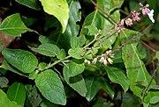 Orthosiphon pallidus (Jyoti) in Talakona forest, AP W IMG 8285.jpg