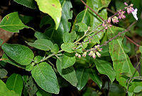 Orthosiphon pallidus (Jyoti) in Talakona forest, AP W IMG 8285