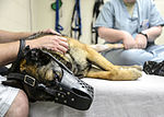 Orthotic tech helps military working dog walk again 150402-F-PU339-954.jpg