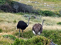 Ostriches cape point.jpg