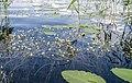 Ota ezers- ūdens augi. Baltie ziediņi... - panoramio.jpg