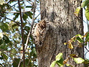 Pench Tiger Reserve - Owl in Pench National Park