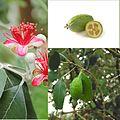Owoce Akka Sellowa.jpg