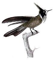 Oxypogon guerinii lindenii