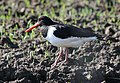 Oyster Catcher on the plough by Dallas - geograph.org.uk - 1278350.jpg