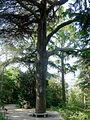 P1260407 Paris V jardin des Plantes cedre du Liban 1734 rwk.jpg