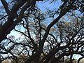 P20140310-0007—Quercus douglasii—Old Briones Road (13205423703).jpg
